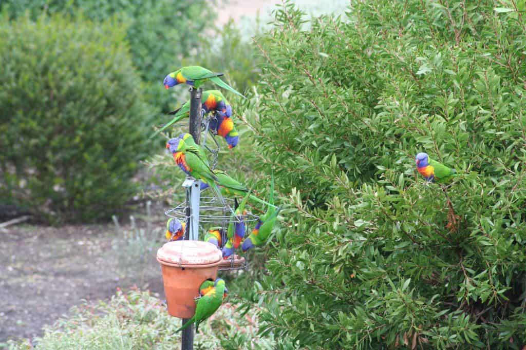 Rainbow lorikeets at Resthaven Bellevue Heights